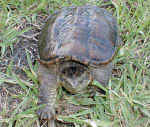 snappingturtle1.jpg (21814 bytes)